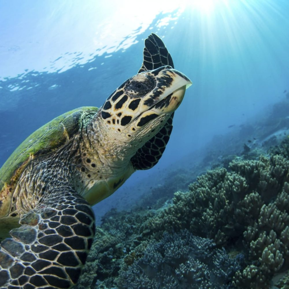 Close-up of a Hawksbill turtle, Eretmochelys imbricata, in the water. An over under view.