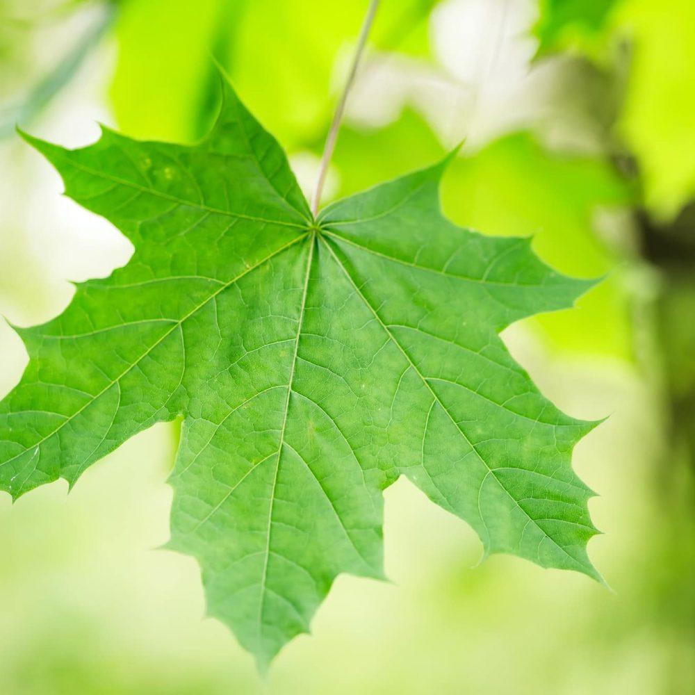Fresh spring green close up maple leaf on a blurred garden background
